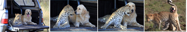 cheetah and lab